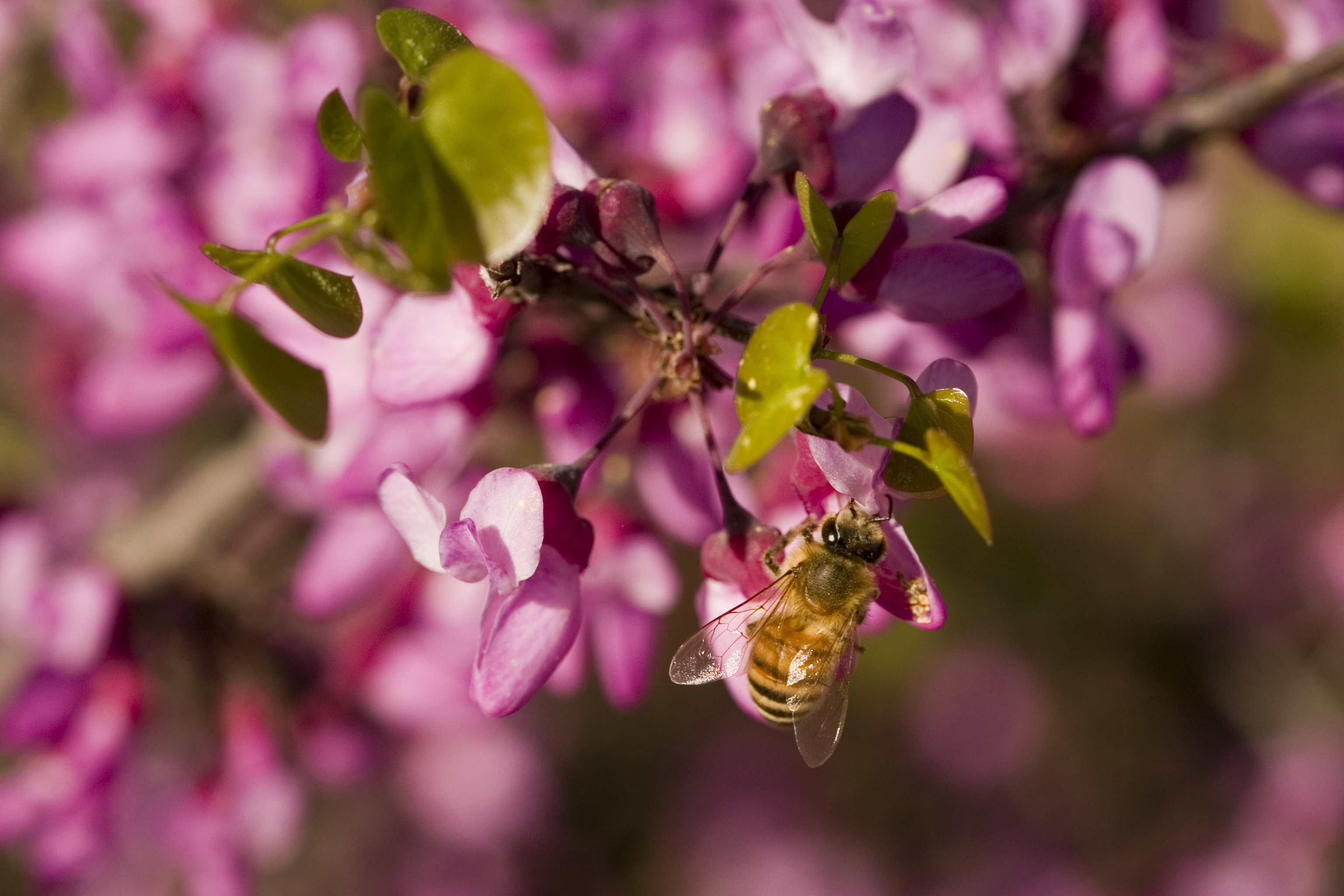 Stock photo of a bee on Western Redbud (Cercis occidentalis). Western redbud is a California native tree or shrub.