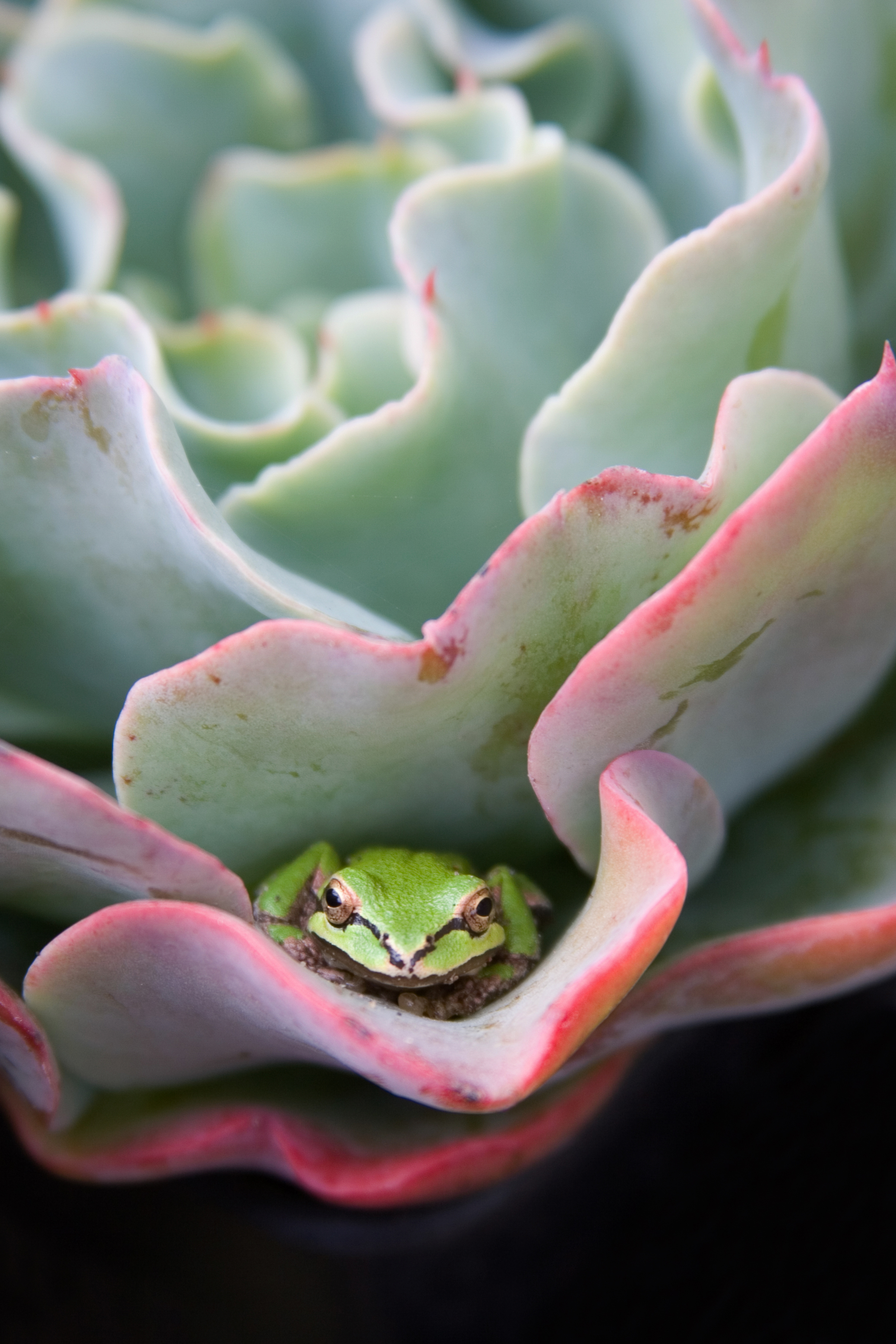 This is a stock photo of a bright green frog hiding in an echeveria plant.
