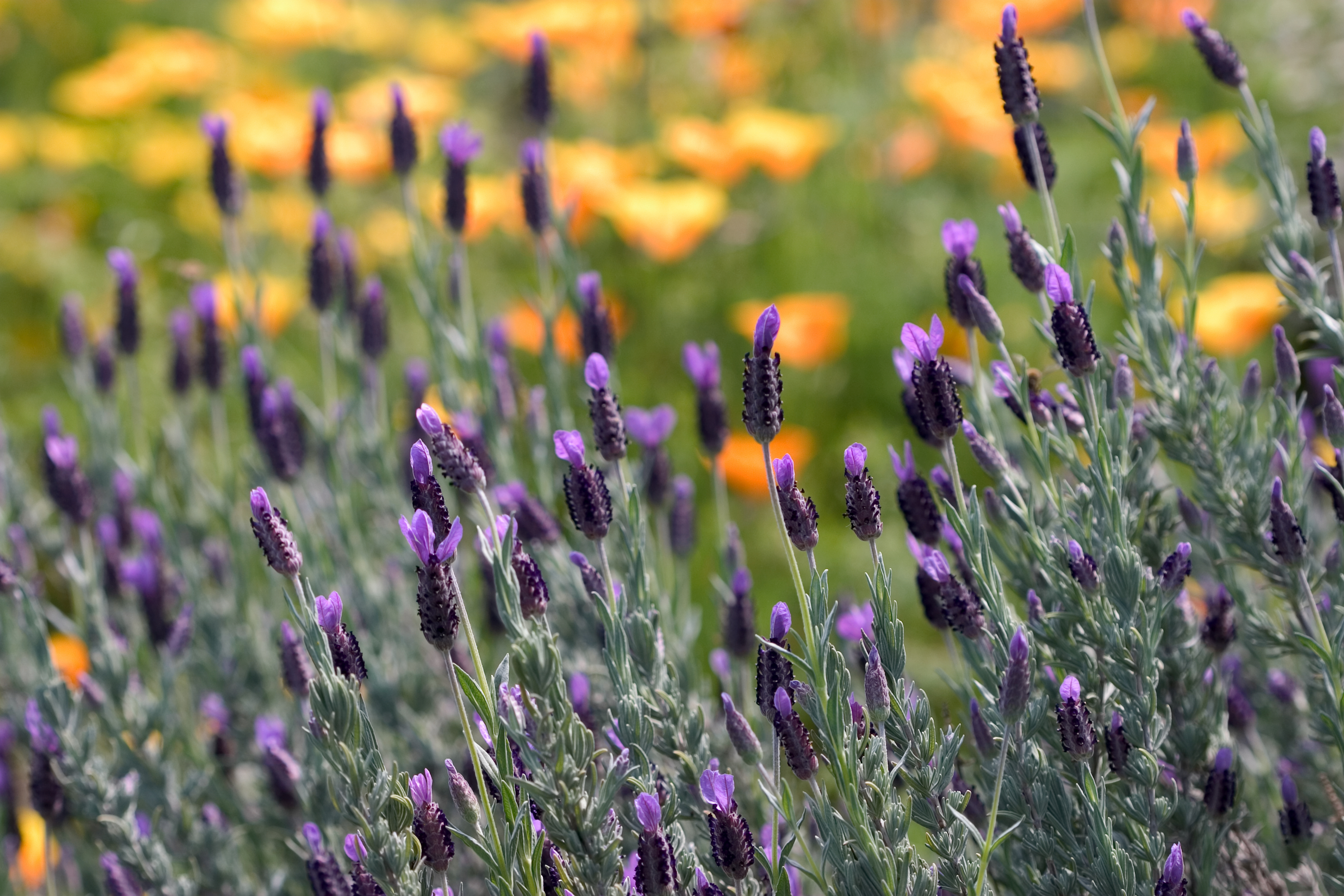 This is a photograph of Spanish lavender (Lavandula