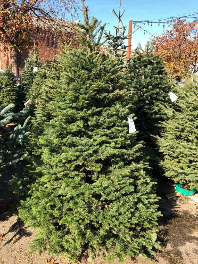 Christmas Trees - The Plant Foundry